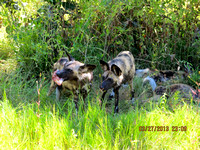 It's mine! Wild Dogs, now Known as Painted Dogs